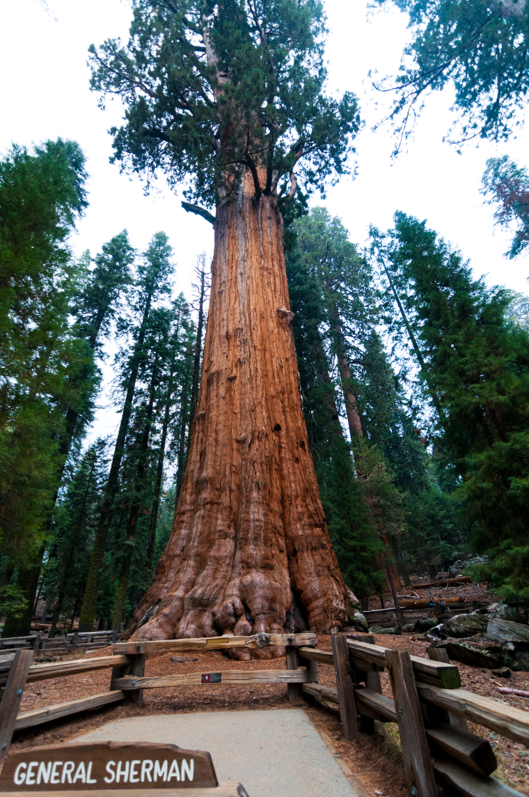 General Sherman. So tall even my wide angle lens had a hard time capturing it!
